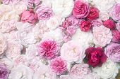 stock photo of english rose  - Background image of pink french and english roses - JPG