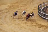 pic of greyhounds  - four greyhounds competing on the race track - JPG