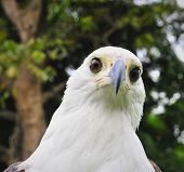 foto of fish-eagle  - Portrait of an African Fish Eagle in Africa - JPG