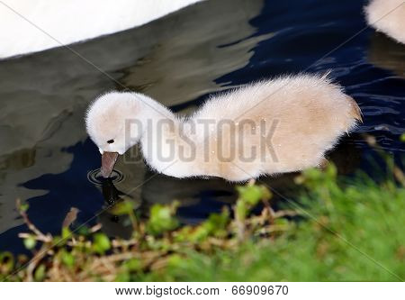 White Swan Cygnet In The Water