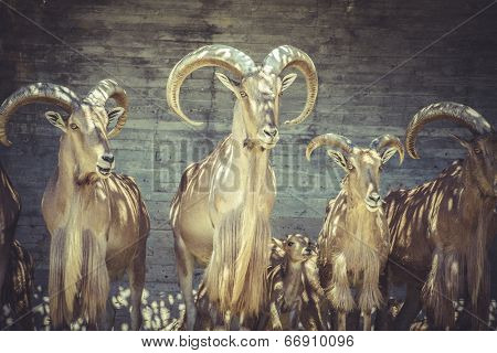 Capricorn, beautiful group of Spanish ibex, typical Animal