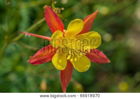 Aquilegia hybrida hortulanorum