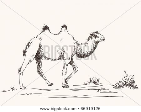 Two-humped camel, Hand drawn illustration