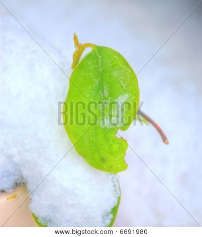 Leaf In Snow