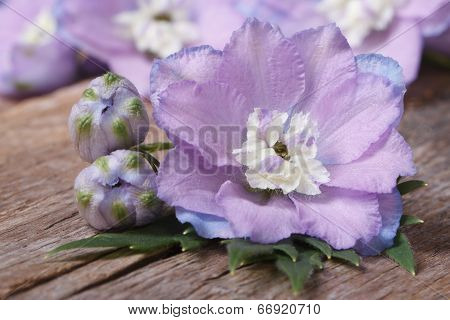 Pale Purple Flowers Delphinium With Buds Macro