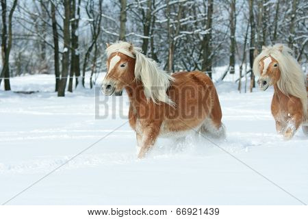 Two Beautiful Haflingers With Long Mane Moving Together In A Lot Of Snow