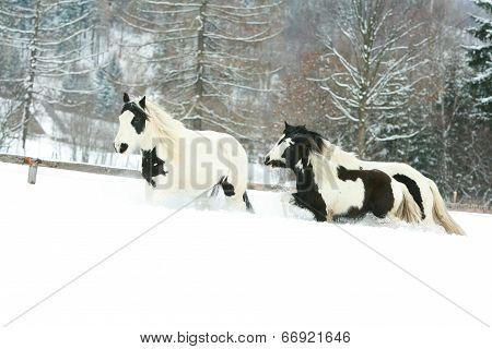 Batch Of Irish Cobs Running In Winter