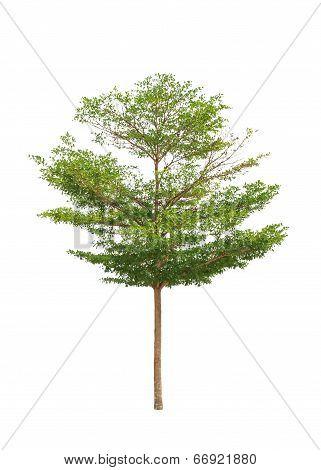 Terminalia Ivorensis Also Called Idigbo, Black Afara, Framire, Emeri And Various Other Names, Tropic