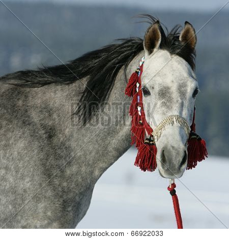 Nice Arabian Horse With Beautiful Show Halter