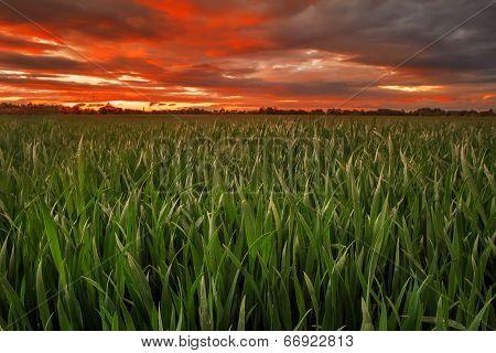 Wheat Field In Evening