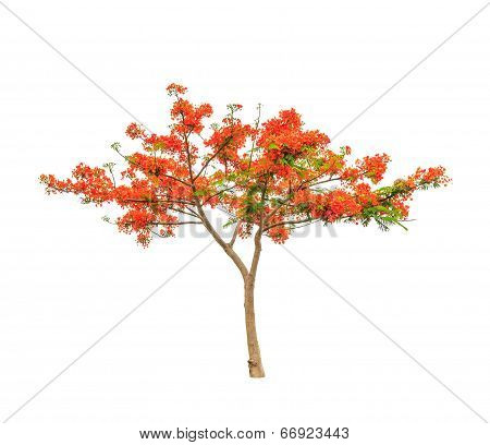 Royal Poinciana Or Flamboyant Tree (delonix Regia), Tropical Tree In The Northeast Of Thailand Isola
