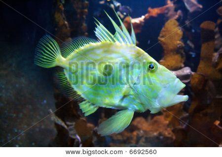 Horsefishe