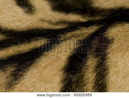 Tiger Skin Detail