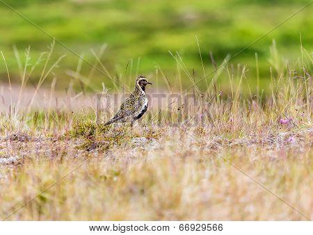 Eurasian Golden Plover