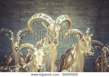 beautiful group of Spanish ibex, typical Animal