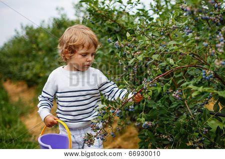 3 Years Boy Picking Blueberries On Organic Berry Field