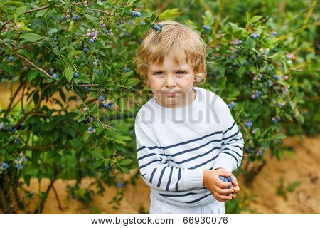 3 Years Boy Picking Blueberries On Organic Berry Field