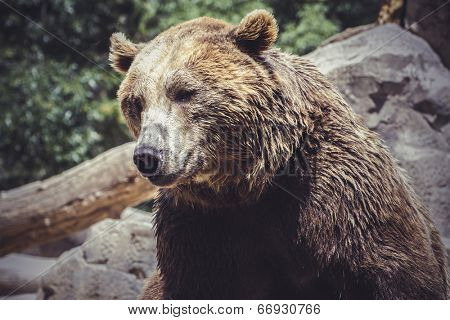 predator, Spanish powerful brown bear, huge and strong  wild animal