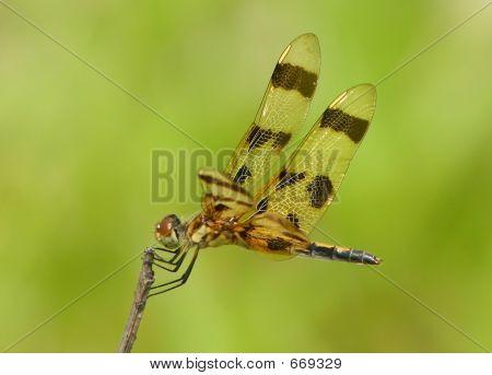 Ballerina Dragonfly