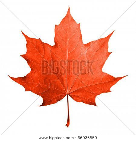 Red maple leaf isolated white background.