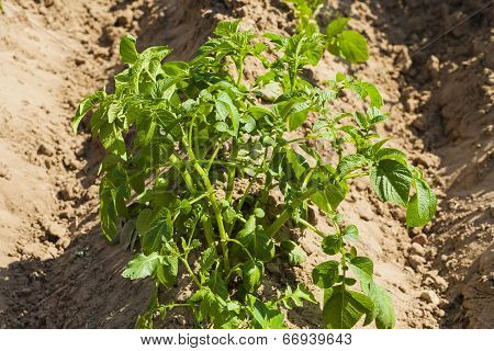 Field crops, young plants potatoes.