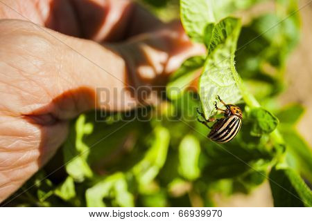 Pest of potato crops.