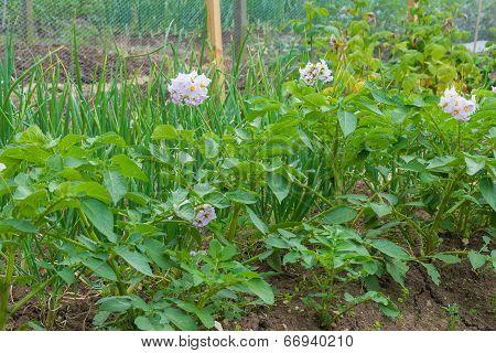 Potato Plants In Flower On Allotment Garden