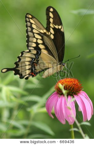 Swallowtail On Cone Flower