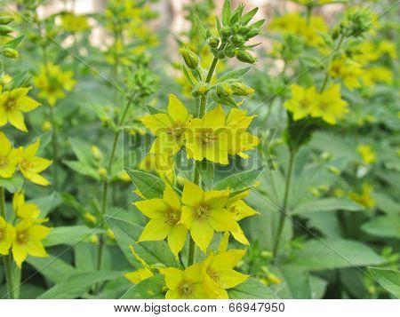Yellow lysimachia