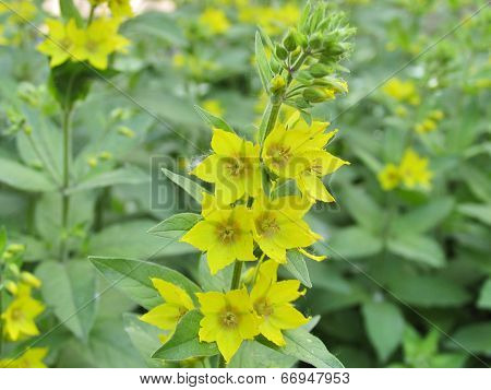 Branch of loosestrife
