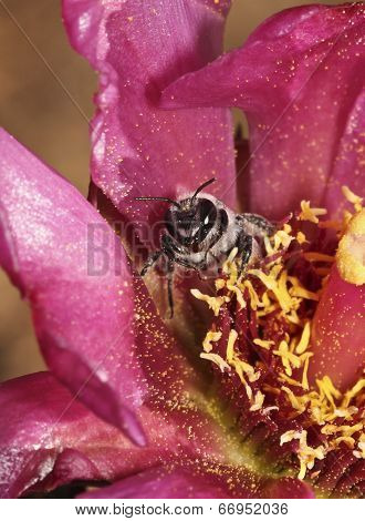 A Bee Peers Out From A Cholla Blossom