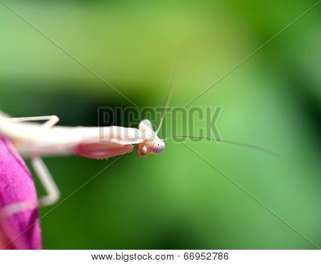 Praying, Mantis, Insect, Flower.