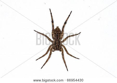 Wolf Spider isolated on white.