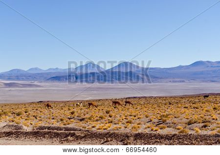 Bolivia, Antiplano - landscape with vicunas