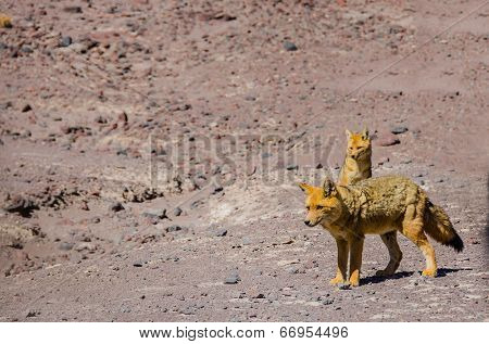 Couple of Culpeos (Andean fox), Bolivia