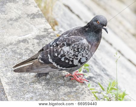 Parisian rock pigeon (Columba livia) at the edge of the Seine