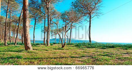 Pine Wood In Mugoni