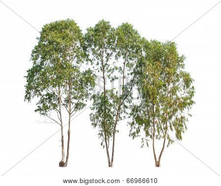 Three Eucalyptus Trees, Tropical Tree In The Northeast Of Thailand Isolated On White Background