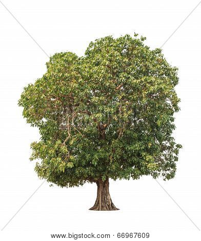 Mangifera Pentandra (wild Mango), Tropical Tree In The Northeast Of Thailand Isolated On White Backg