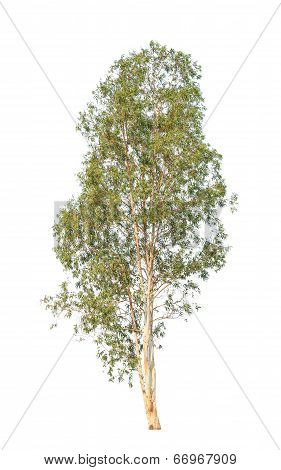 Eucalyptus Tree, Tropical Tree In The Northeast Of Thailand Isolated On White Background