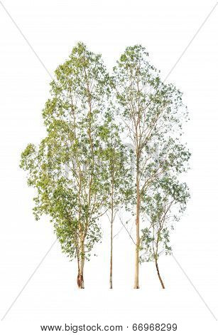 Eucalyptus Trees, Tropical Tree In The Northeast Of Thailand Isolated On White Background