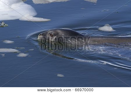 Weddell Seal Sailing Among Ice Floes Along The Antarctic Islands