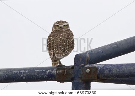 Burrowing Owl Which Sits On A Metal Frame
