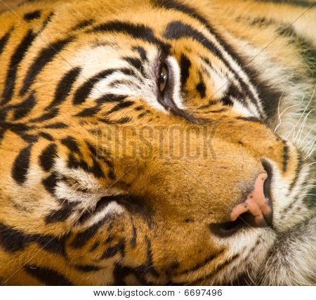 Tiger Face Closeup