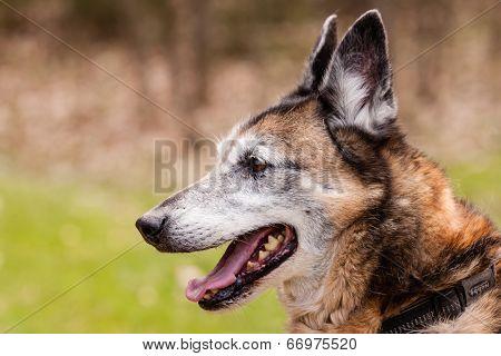 Mutt Belgian Shepherd