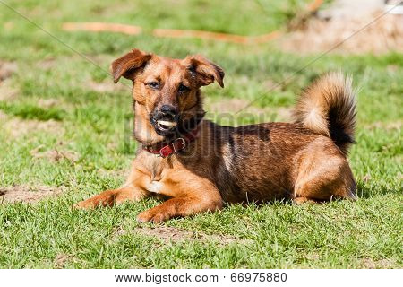 Mutt Of Dachshund Dog