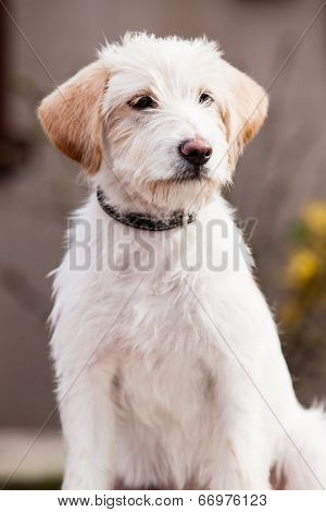 Mutt Of Spinone Italiano