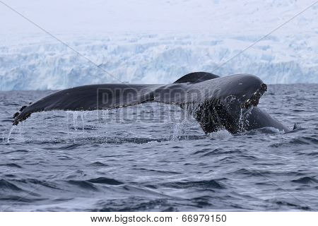 Humpback Whale Diving In The Water Off The Antarctic Peninsula