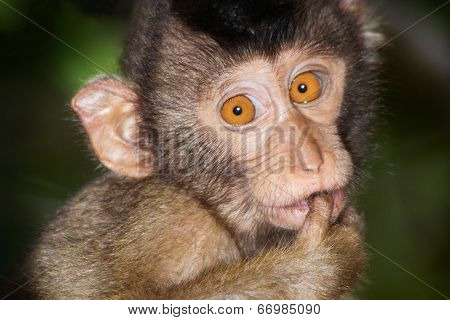 Pig-tailed Macaque.