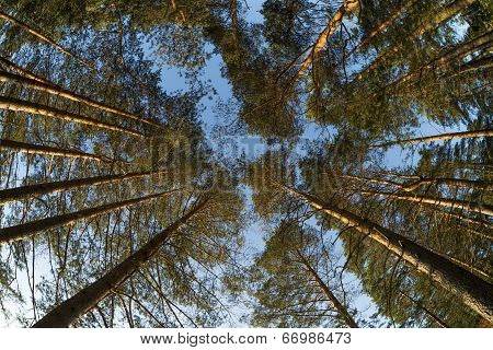 Wide View Up To Pine Trees Tops